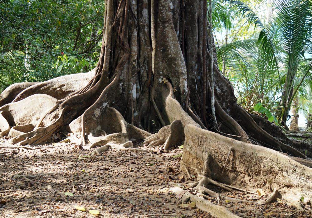 Arbre - Bahia Drake - péninsule d'Osa - Corcovado - Costa Rica