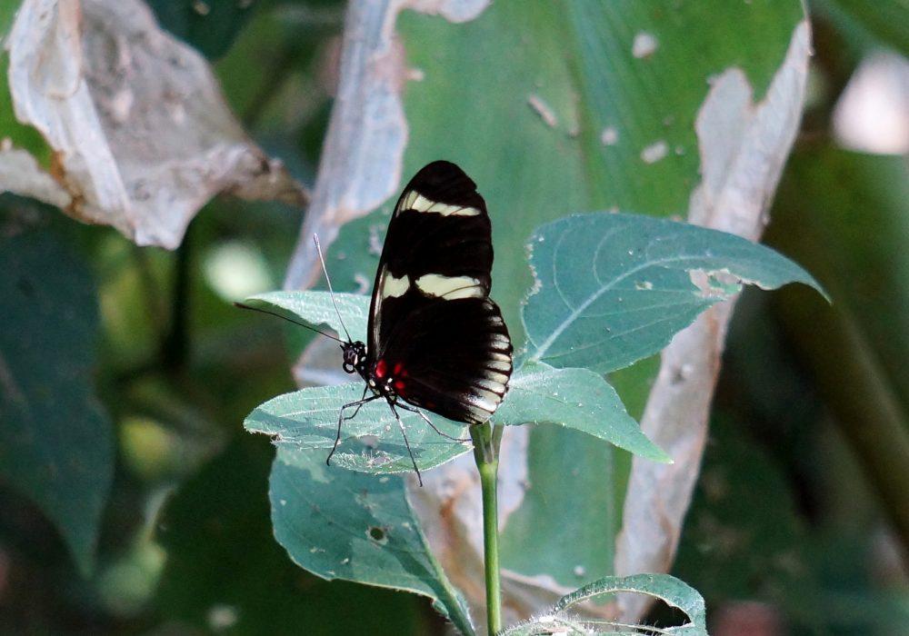 Papillon -  Bahia Drake - péninsule d'Osa - Corcovado - Costa Rica