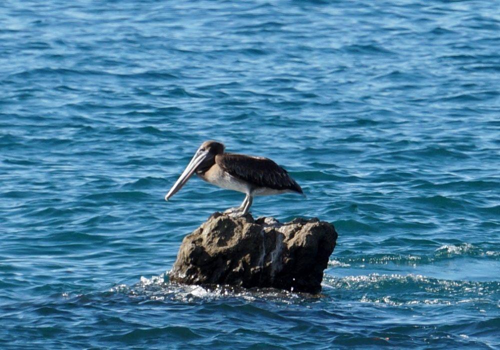 Pélican  - Bahia drake - Corcovado - Costa Rica
