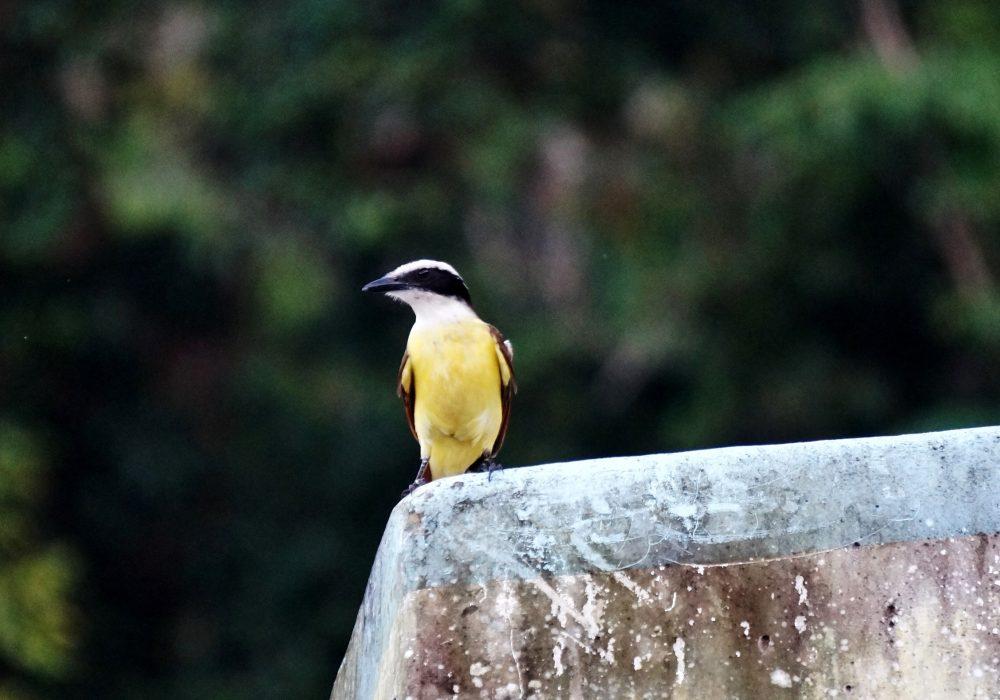 Oiseau Tyran jaune -  Bahia Drake - péninsule d'Osa - Corcovado - Costa Rica
