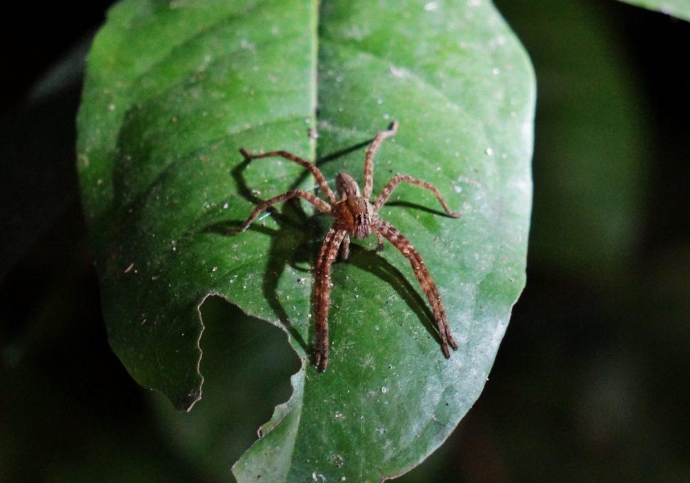Araignée - Bahia drake - Corcovado - Costa Rica