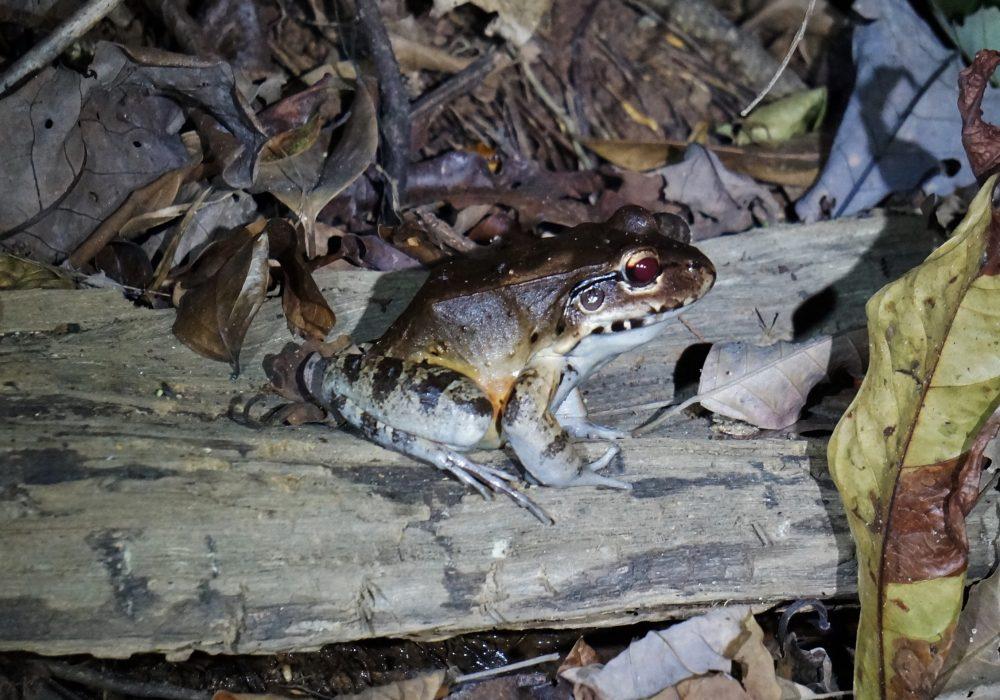 Grenouille bouledogue - Bahia drake - Corcovado - Costa Rica