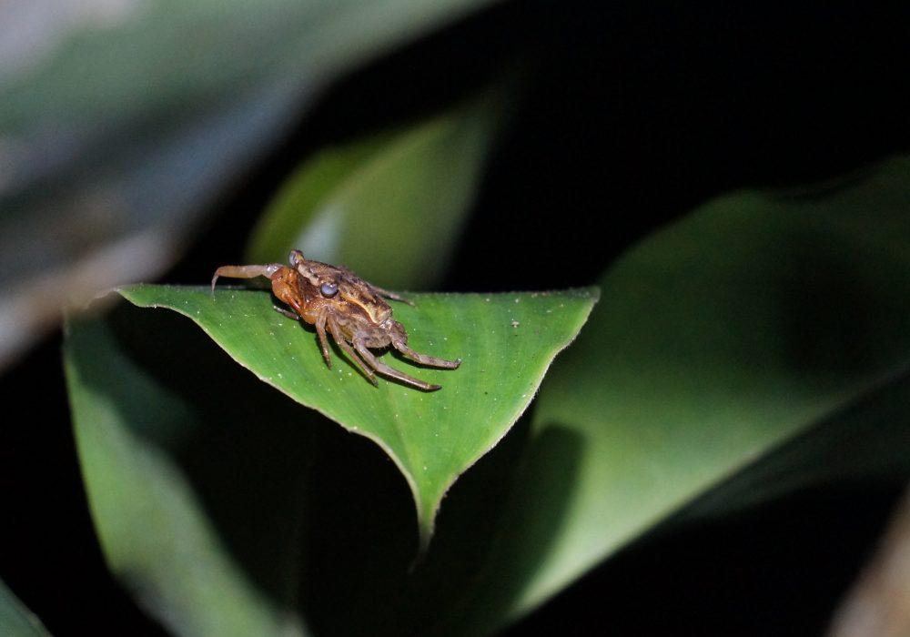 Crabe nocturne - Bahia drake - Corcovado - Costa Rica