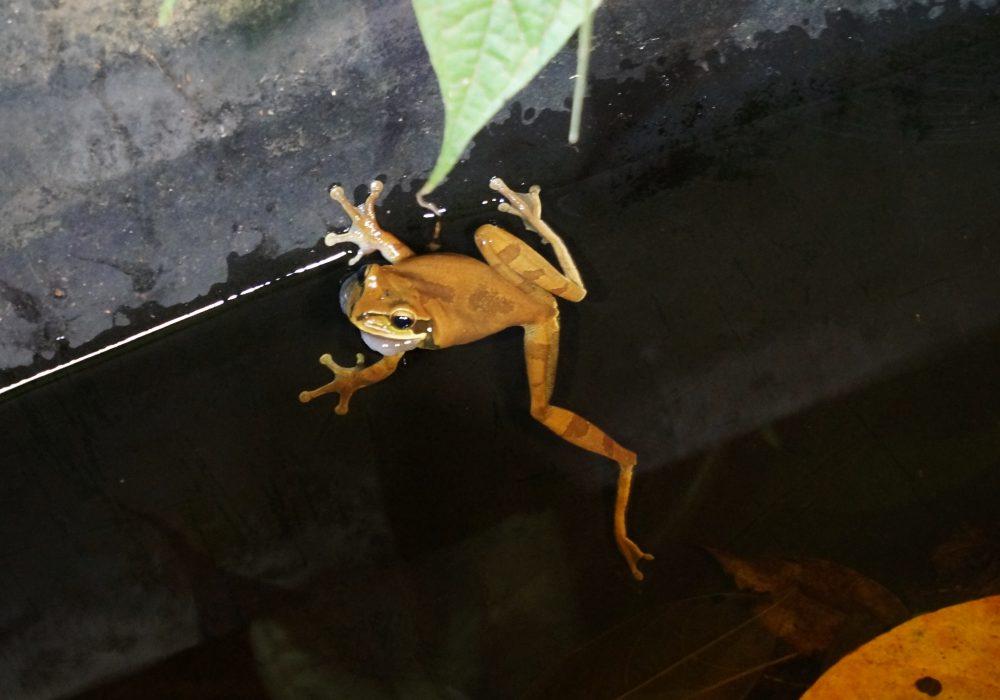 Grenouille - Bahia drake - Corcovado - Costa Rica