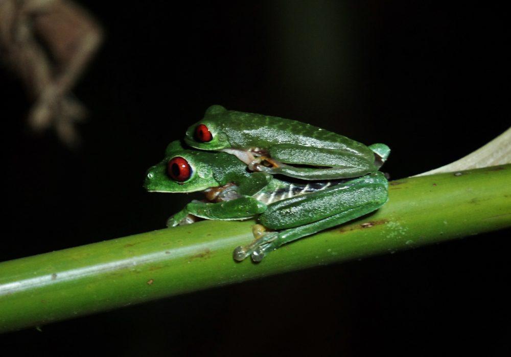 Grenouilles vertes aux yeux rouges - Costa rica