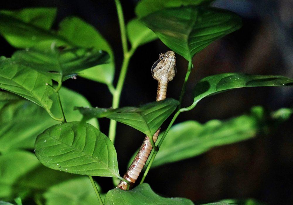 Serpent fer de lance - Bahia drake - Corcovado - Costa Rica