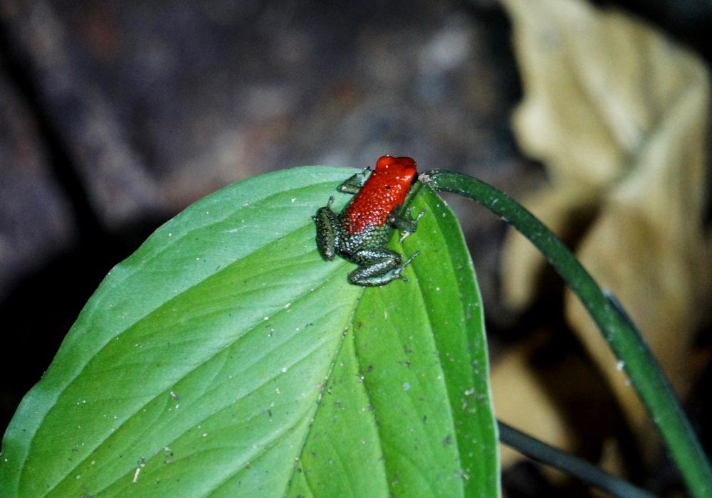 Grenouille venimeuse - Bahia drake - Corcovado - Costa Rica