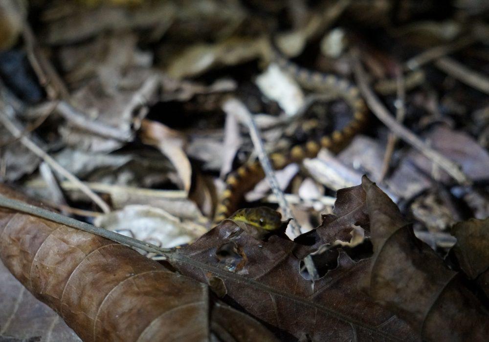Serpent - Bahia drake - Corcovado - Costa Rica