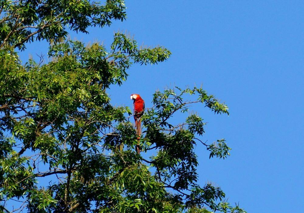 Arras rouge - Bahia Drake - Corcovado - Costa rica