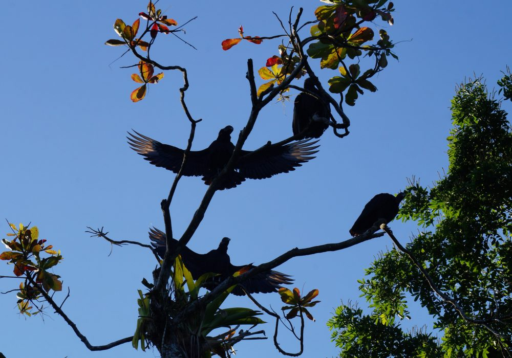 Vautour noir -  Bahia Drake - péninsule d'Osa - Corcovado - Costa Rica