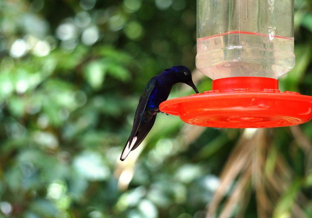 colibris - réserve de monteverde - costa rica