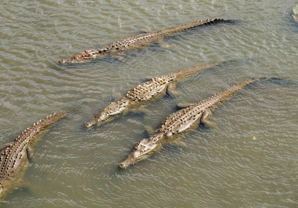 Crocodiles - Pont Tarcolès - Costa rica
