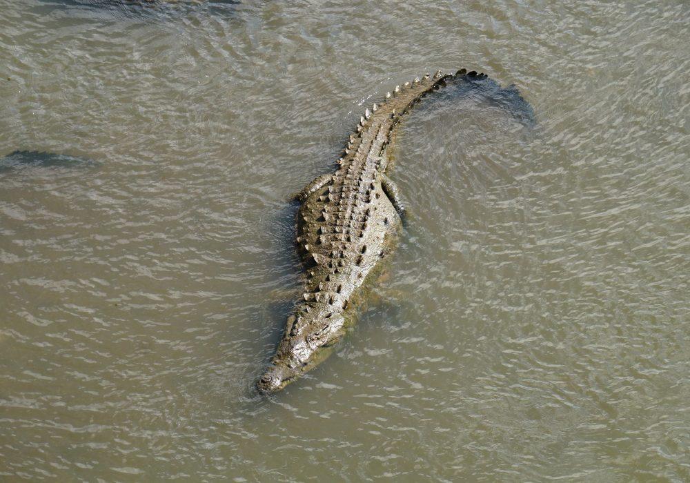 Crocodile - Pont de Tarcoles - Costa rica