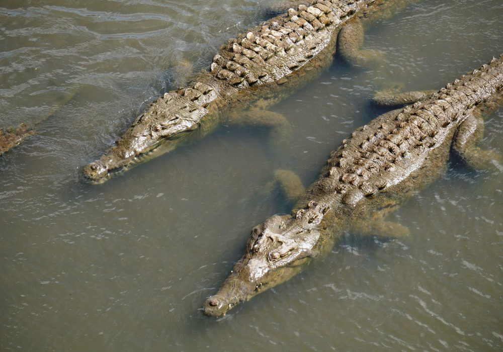 Crocodiles - Pont de Tarcoles - Costa rica