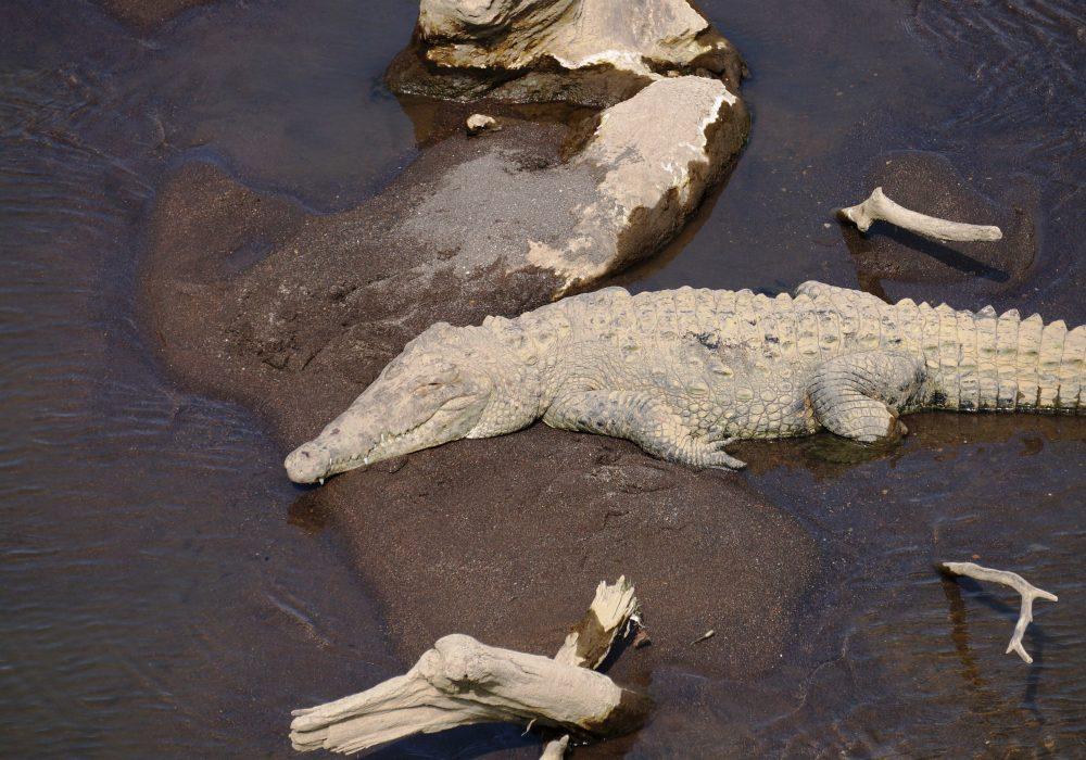 Crocodile séchant au soleil - Pont de Tarcoles - Costa rica