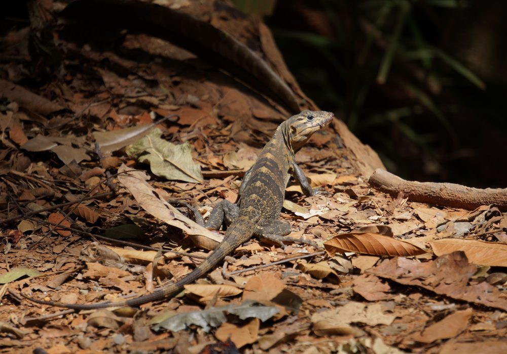 Lézard - Parc national Manuel Antonio - costa rica