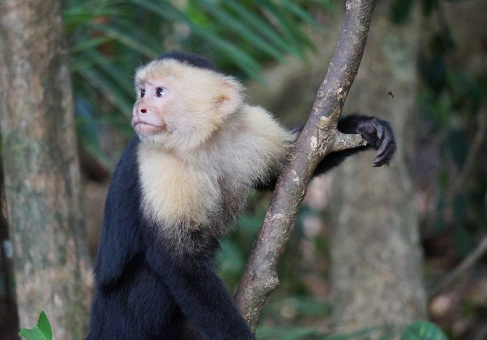 Singe capucin - parc national Manuel Antonio - Costa rica
