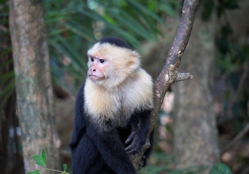 Singe capucin - parc Manuel Antonio - costa rica