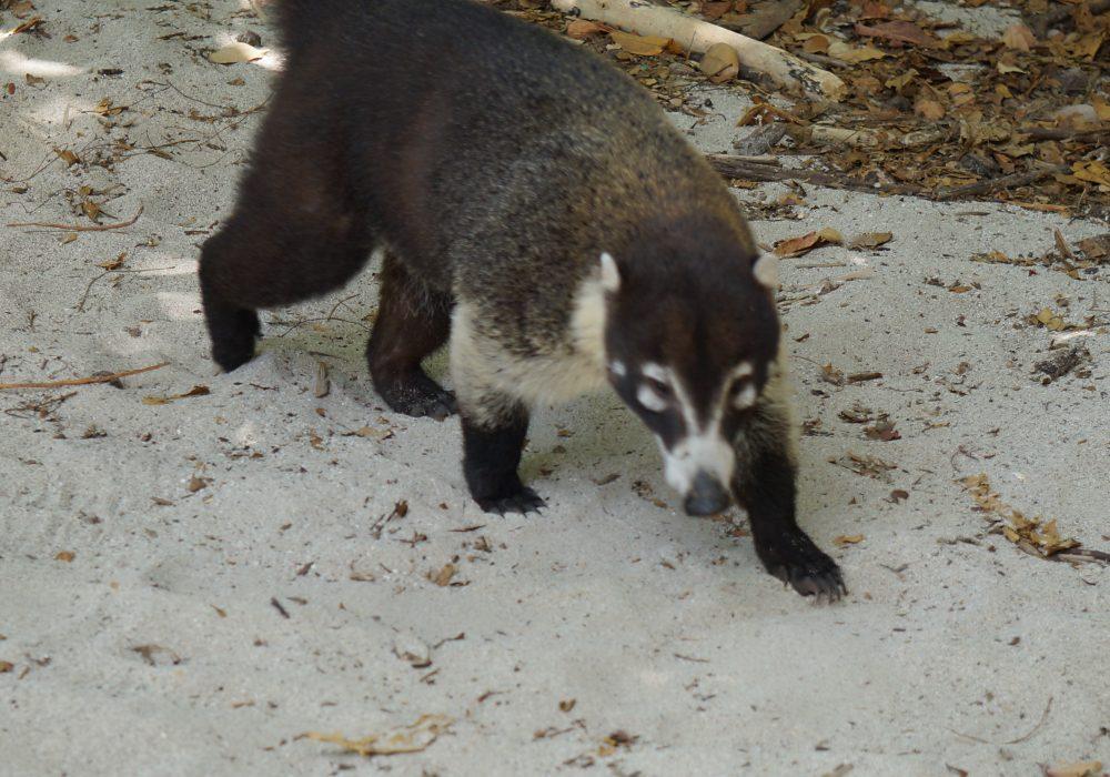 Coati - parc Manuel Antonio - costa rica