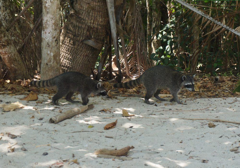 Raton Laveur - parc Manuel Antonio - costa rica