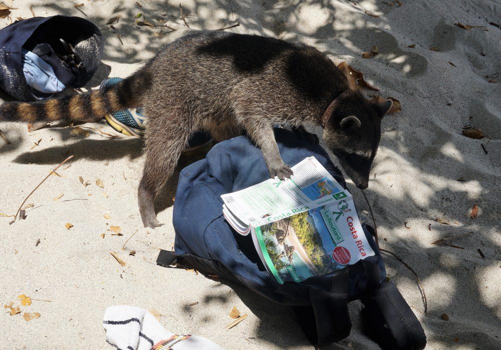 Raton laveur qui attaque nos sacs à dos à la recherche de banane - parc manuel antonio - Costa rica