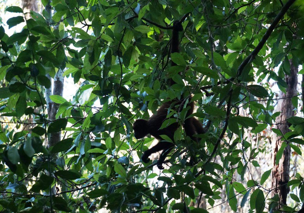 Singe araignée - Parc national de Corcovado - Costa rica