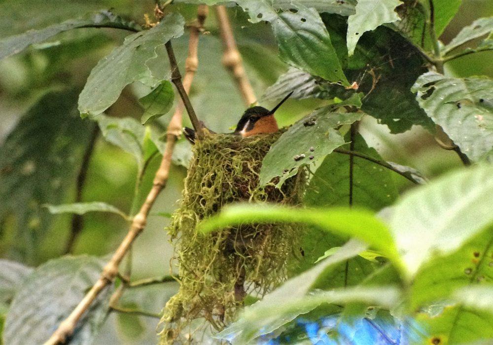 Nid de colibris - réserve de monteverde - costa rica