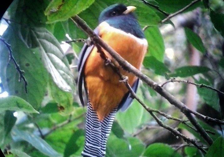 Oiseau - Orange bellied Trogon - réserve de monteverde - costa rica