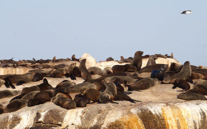 Duiker island, Otaries du Cap, Hout Bay, Cape Town, Afrique du sud