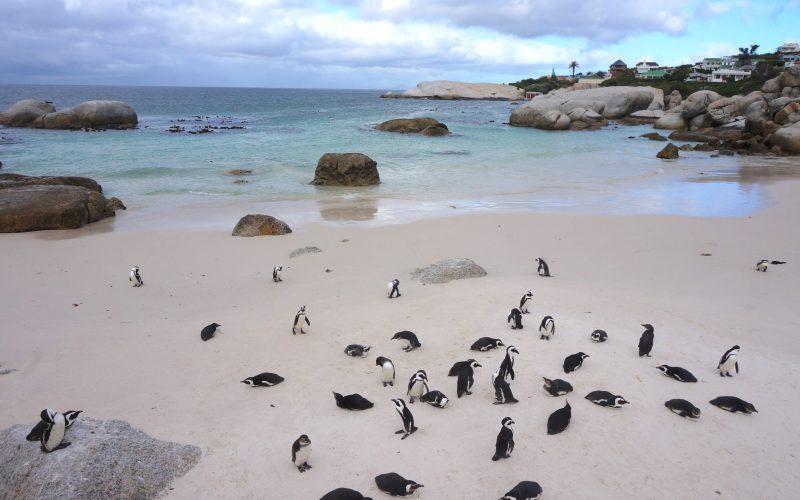 manchot, boulders beach, cape town, afrique du sud