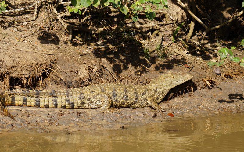 crocodile, ste lucia, afrique du sud