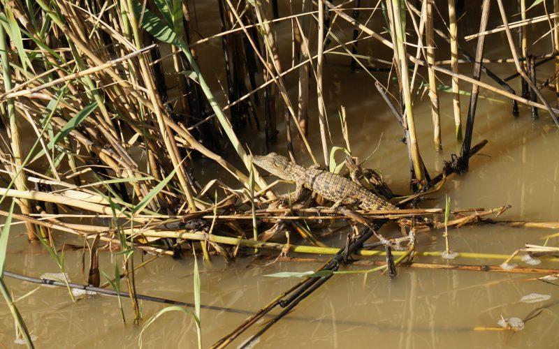 bébé crocodile, ste lucia, afrique du sud