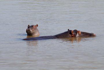afrique du sud, sainte lucia, hippopotames