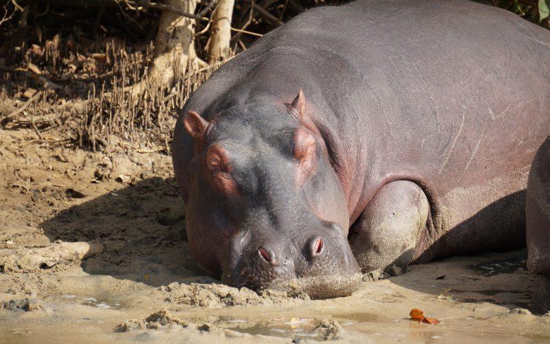 hippopotame, ste lucia, afrique du sud