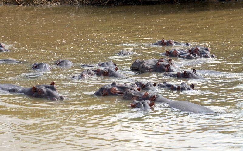 hippopotames, ste lucia, afrique du sud