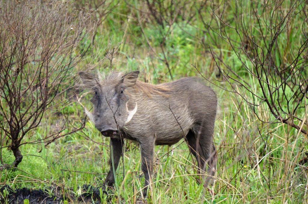 Phacochère, iSimangaliso Wetland Park, st lucia, afrique du sud
