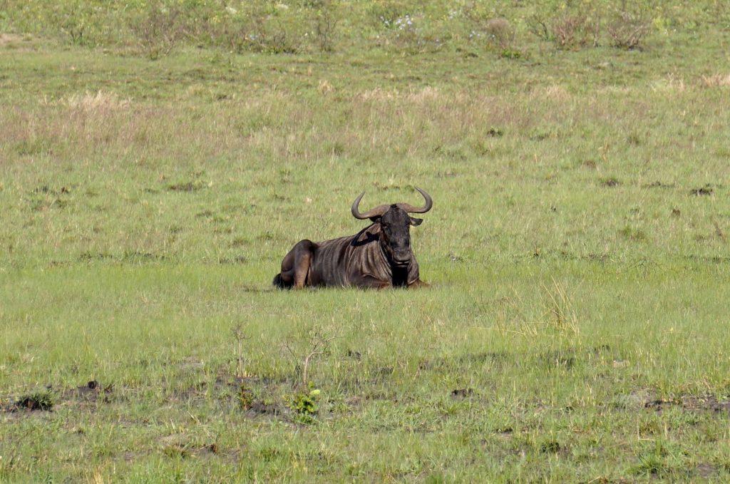 Gnou, iSimangaliso Wetland Park, st lucia, afrique du sud