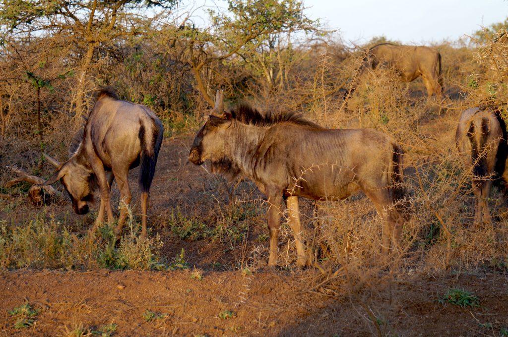 Gnous, Lodge Zulu Nyala heritage, afrique du sud