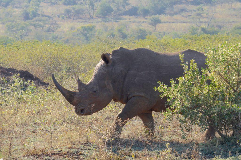 rhinocéros, Lodge Zulu Nyala heritage, afrique du sud
