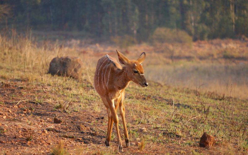 Nyala, Mlilwane Wildlife Sanctuary, Swaziland