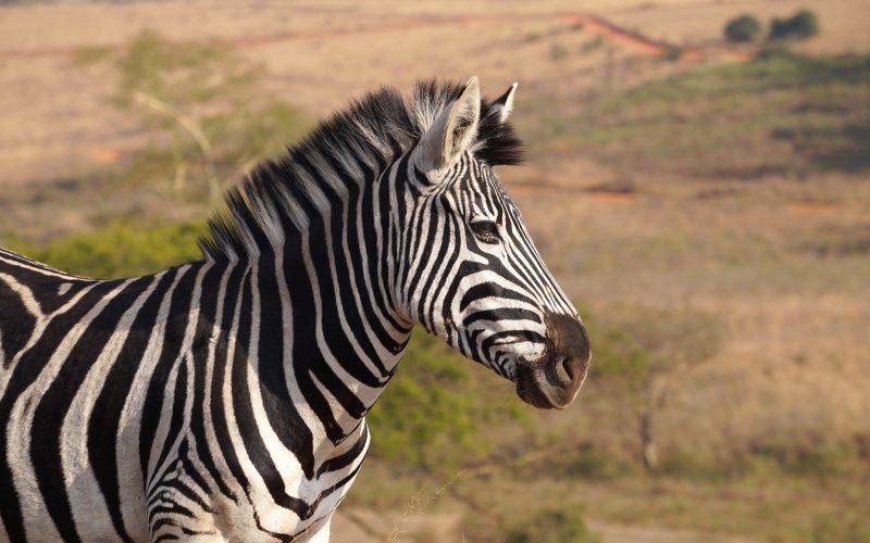 zèbre, Mlilwane Wildlife Sanctuary, Swaziland