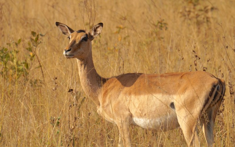 antilope, Mlilwane Wildlife Sanctuary, Swaziland