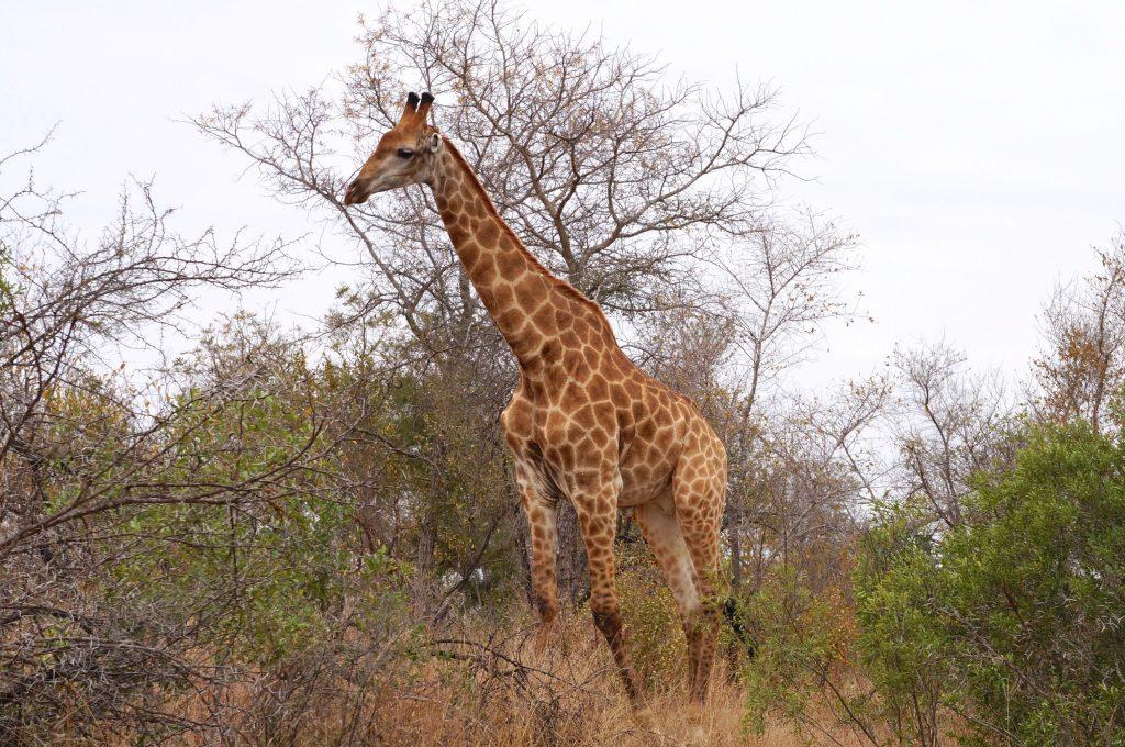 girafe, parc kruger, afrique du sud