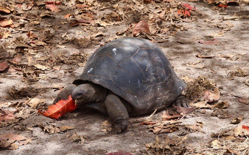 tortue géante, anse source d'argent, la digue, seychelles
