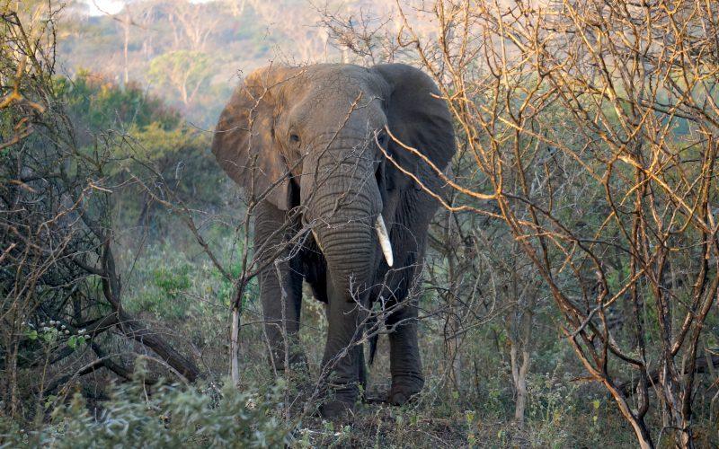 éléphant, Lodge Zulu Nyala heritage, afrique du sud
