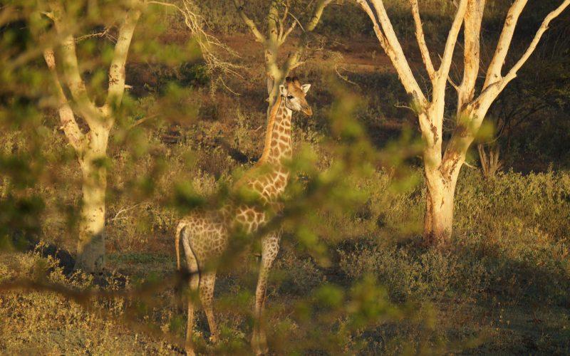 girafe, Lodge Zulu Nyala heritage, afrique du sud