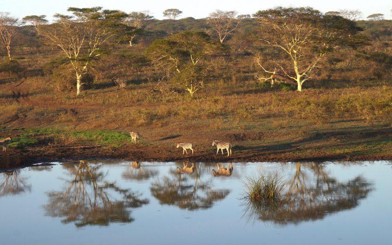 zèbres, Lodge Zulu Nyala heritage, afrique du sud