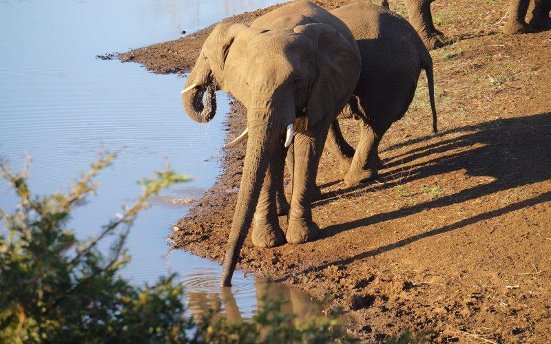 Eléphants, réserve Zulu Nyala, afrique du sud