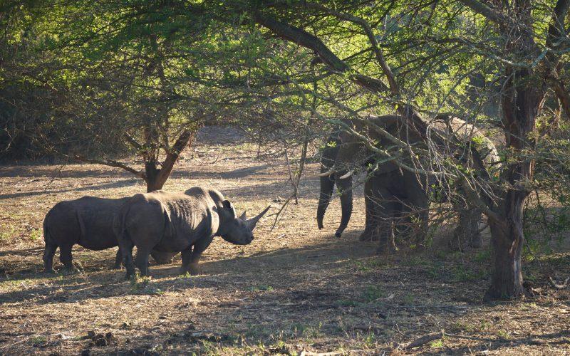 Affrontement entre rhinocéros et éléphants, réserve Zulu Nyala, afrique du sud