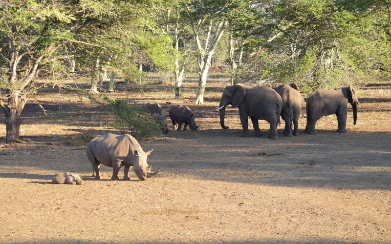 Elephants et rhinocéros, réserve Zulu Nyala, afrique du sud
